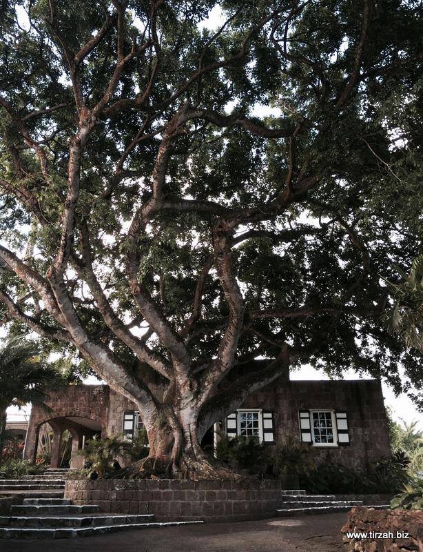 3-Nevis Montpelier Fig Tree